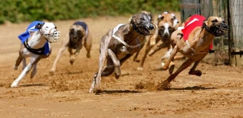 قیمت سگ های سگ دوانی چه قدر می باشد؟